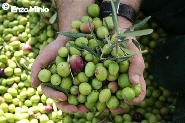 Lucca Sicula Olive verdi Sicula Foto Minio