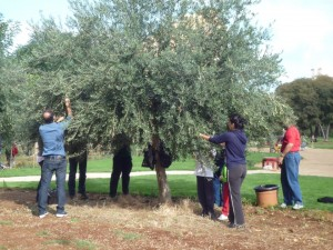 Ribera Raccolta delle olive