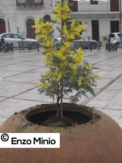 Ribera Mimosa in piazza fOTO MINIO