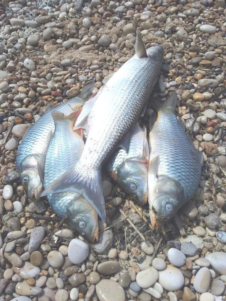 fiume Platani morìa di pesci 2
