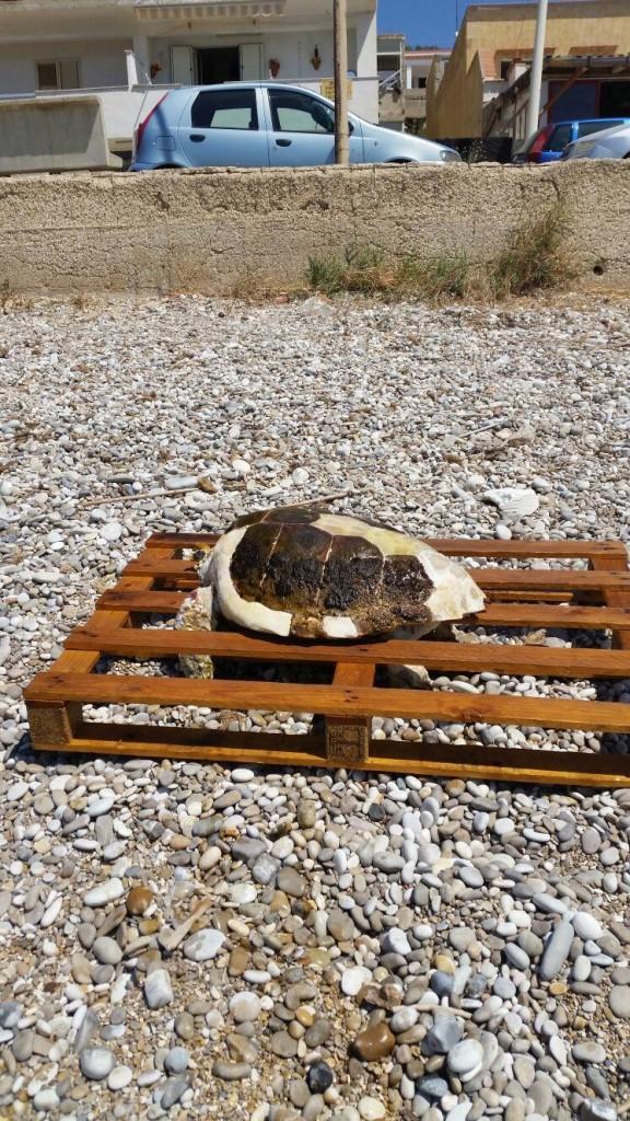 tartaruga morta a Seccagrande 2