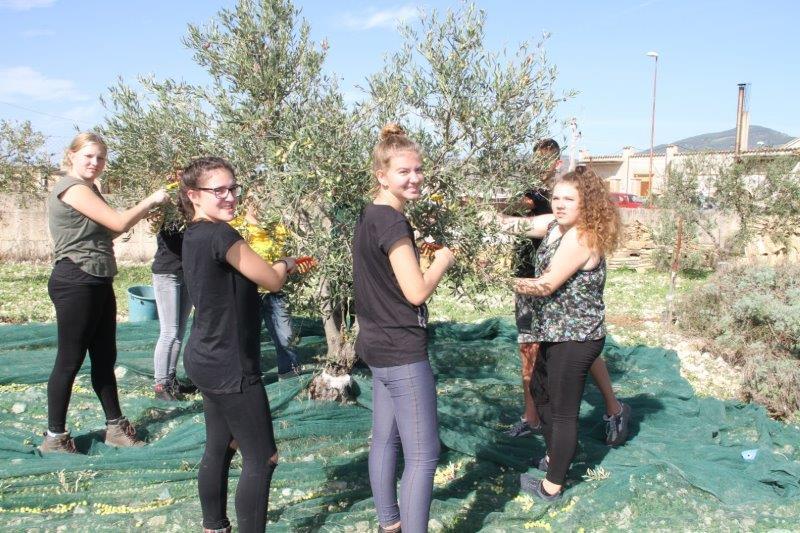 raccolta olive studenti tedeschi 2