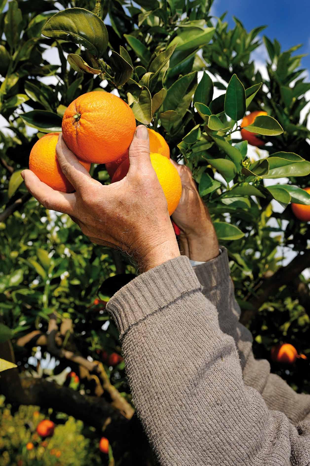 arance raccolta